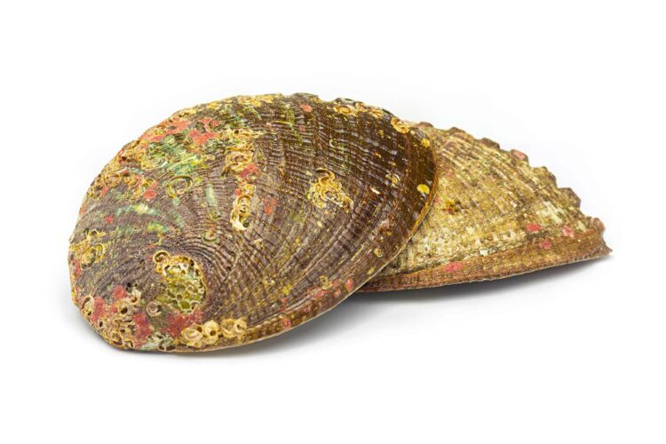 abalone-skoljka-velika-portal8