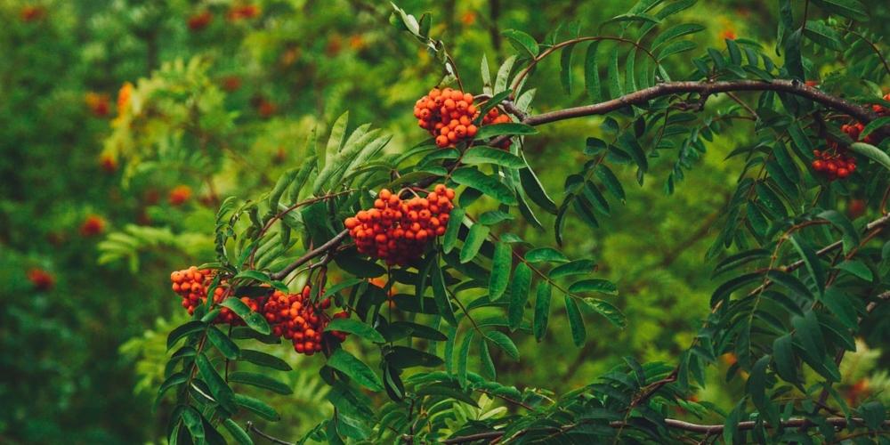 sorbus-drevesna-znamenja